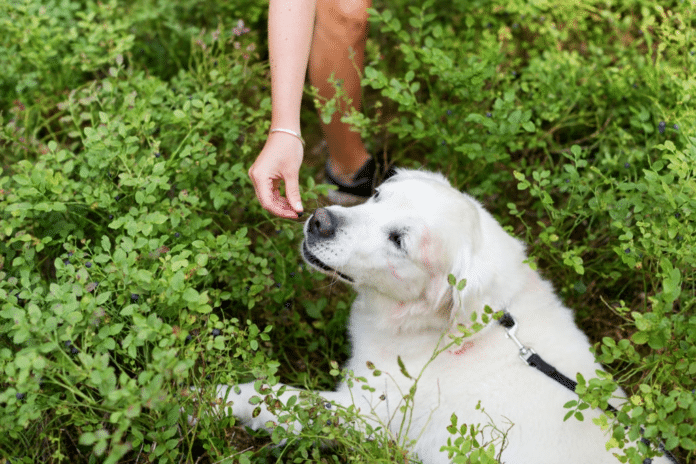 Can dogs eat blueberries?Dog eating blueberry