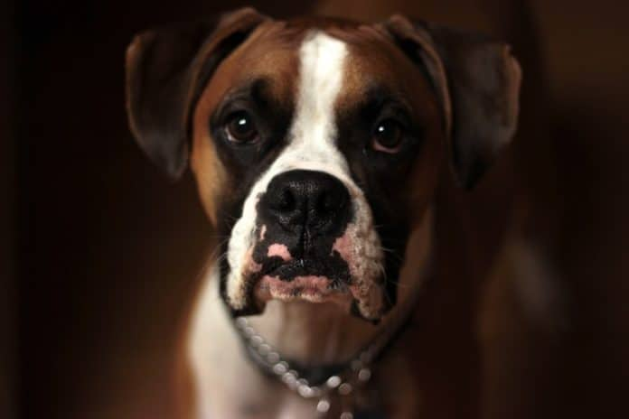 Hot spots on dogs:A dog with inflamed skin