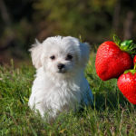 Can dogs eat strawberries?A dog with strawberries