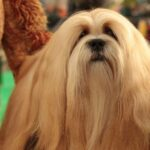 Westminster Kennel Club Dog Show 2021