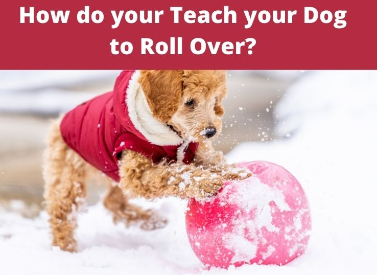How do your Teach your Dog to Roll Over