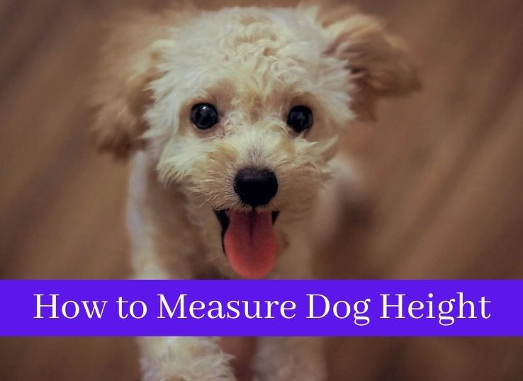 How to Measure Dog Height