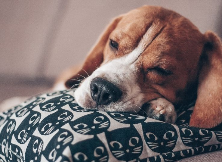 Best dog breed for sacred children in India