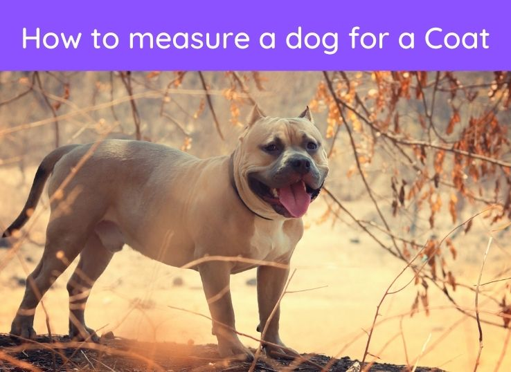 How to measure a dog for a Coat