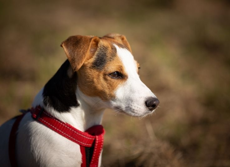 How to put on a dog harness
